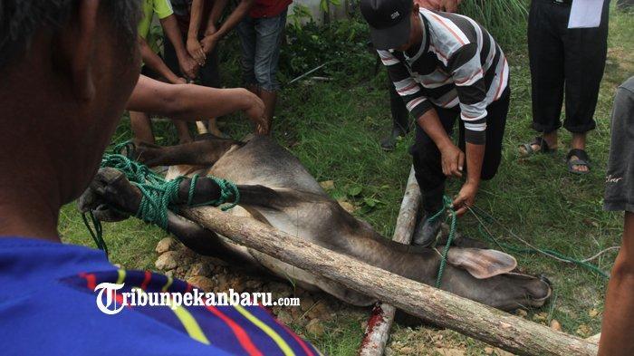 TATACARA dan DOA Menyembelih Hewan Kurban yang Baik dan Benar