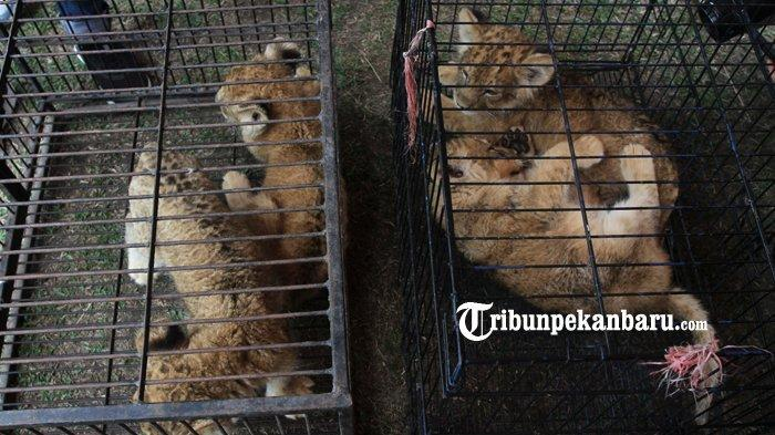 Sempat Diselamatkan dari Upaya Perdagangan Ilegal, Anak Leopard Ini Malah Mati di Kebun Binatang