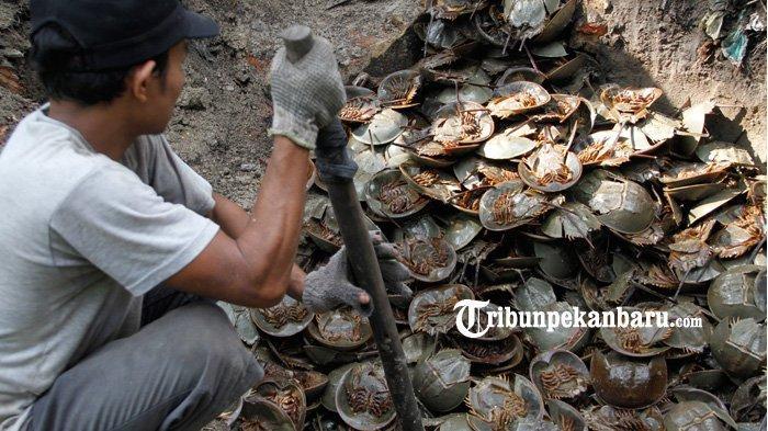 Tersangka dan Barang Bukti Kasus Penyelundupan 6 Ribu Belangkas di Riau Dilimpahkan Ke JPU