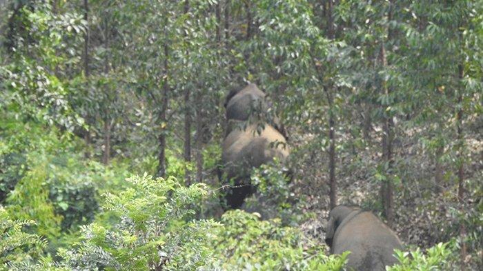 Konflik Gajah Liar vs Manusia di Kuansing Riau Kerap Terjadi, Diduga Berikut Ini Jadi Penyebabnya
