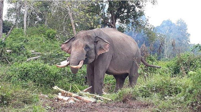 gajah-jinak-di-inhu.jpg