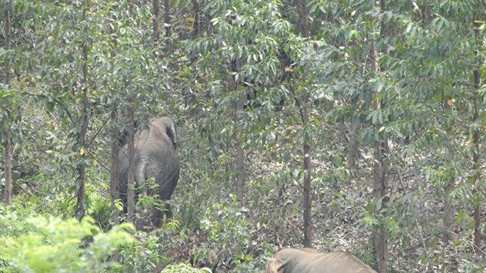 Kawanan gajah teelihat di kebun warga Desa Teratak Rendah, Kecamatan Logas Tanah Darat (LTD), Kuansing