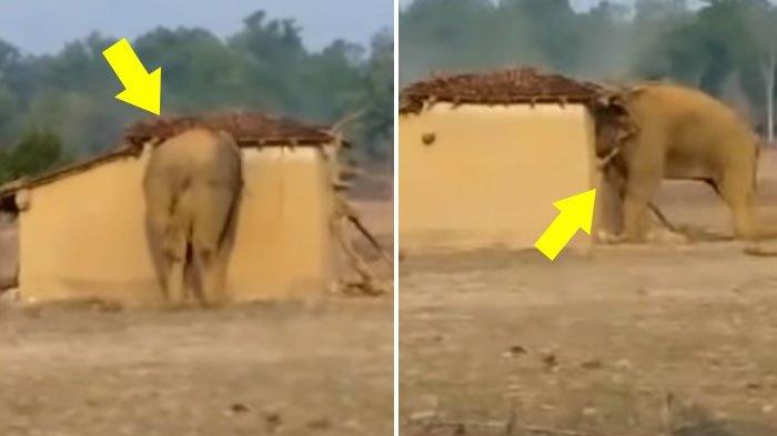 Nahas, Lelaki Ini Coba Cari Perhatian Gajah, Namun Diseruduk dan Diinjak, Keluarga Histeris