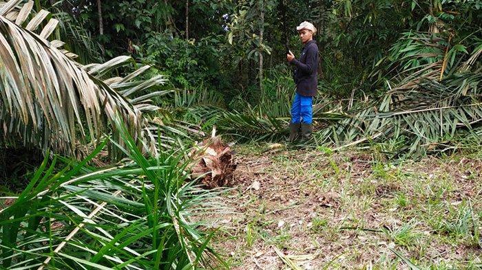 Kebun sawit milik warga Desa Teratak Rendah, Kecamatan Logas Tanah Darat (LTD), Kuansing, Riau yang dirusak kawanan gajah.