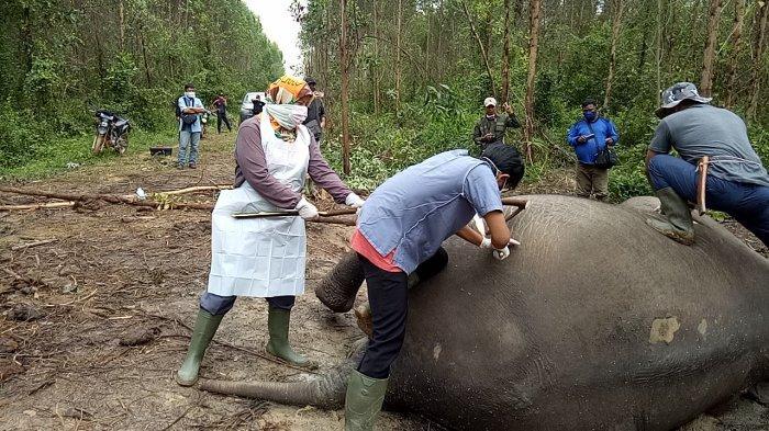Gajah Sumatera Ditemukan Mati di Mandau, Bengkalis Ternyata Ini Penyebabnya