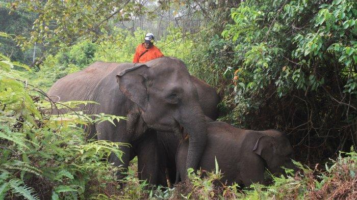 Gajah Jinak di TNTN Riau Stres Sering Dengar Suara Kobaran Api, Terpaksa Diungsikan