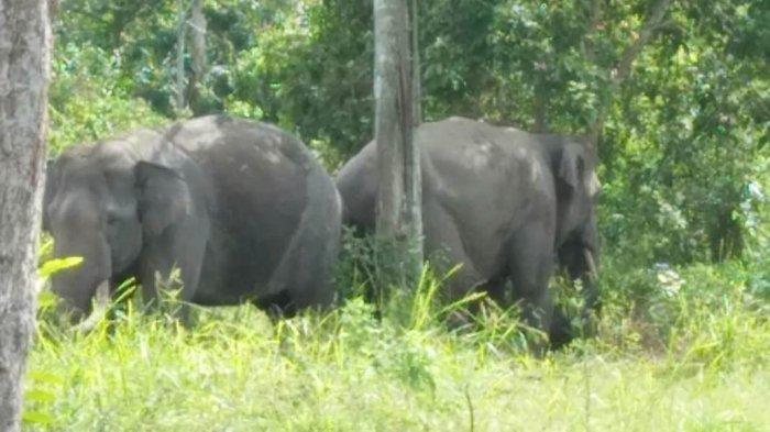 Seekor Gajah Liar Sakit Terpisah dari Kawanan, BKSDA Turunkan Tim Medis