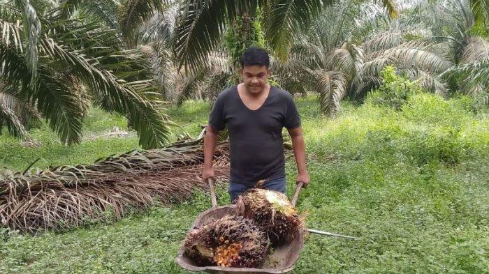 Harga TBS Kalapa Sawit di Riau Naik, Dipicu Harga CPO di Riau, Ini Rincian Harga TBS dan CPO di Riau