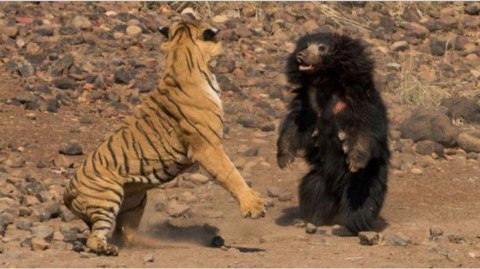 Harimau dan beruang duel sengit