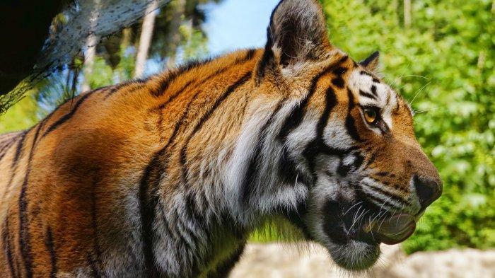 Harimau Takut Sama Sinaga, Cuma Dihardik Saat Makan Kambing, Panthera Tigris Terbirit-birit