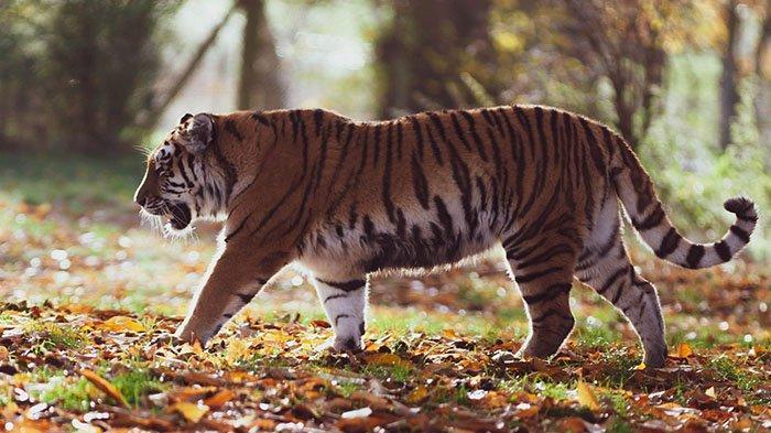 Berburu Harimau Pemangsa Remaja di Siak, BBKSDA Riau 8 Hari Telusuri Lokasi, Jejak Belum Terlacak