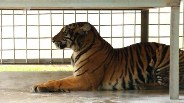 Harimau Itu Diberi Nama Lanustika,Masuk Perangkap di Lokasi Tewasnya Remaja di Siak, Kondisinya Kini