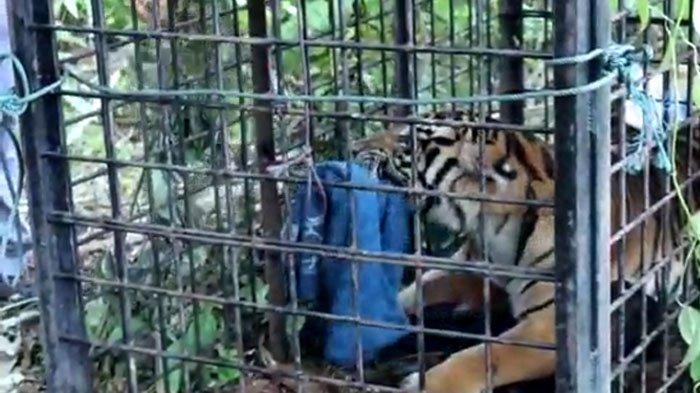 Harimau Sumatera Betina yang Masuk Kandang Perangkap di Siak Kakinya Luka dan Membusuk Kena Jerat