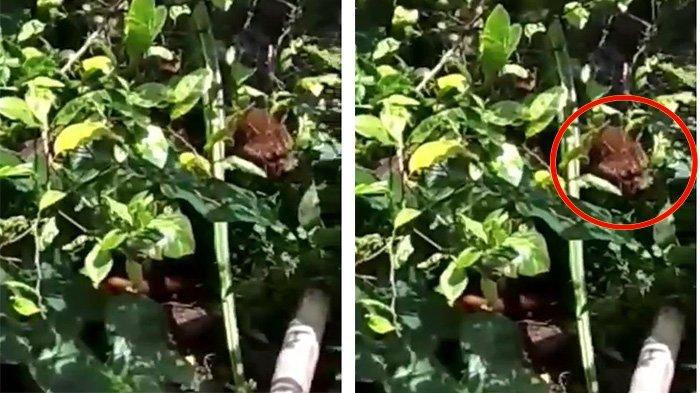 Harimau Masuk Pemukiman Warga di IV Koto Agam Sumbar, Sempat Terkam Kucing Kampung
