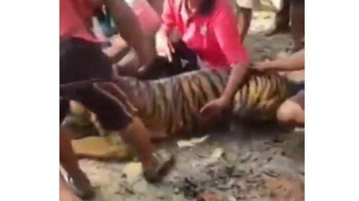 Harimau Ditemukan Lemas hingga Akhirnya Mati di Pasaman, Dikubur dan Makamnya Dicor