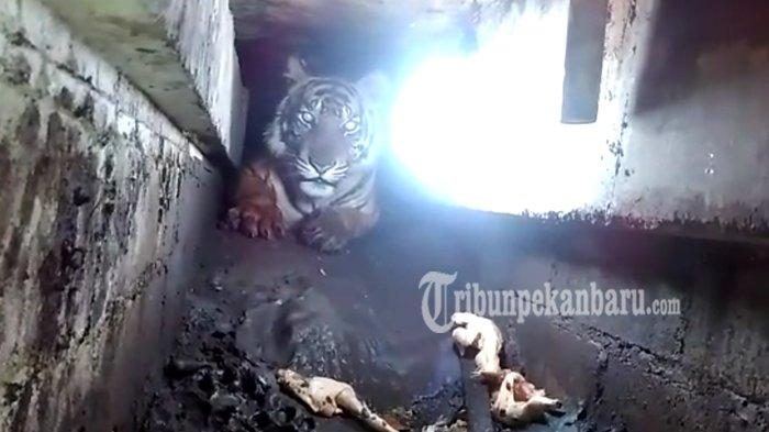 Ada Luka di Tubuh Harimau yang Terjebak Dalam Kolong Ruko di Pulau Burung, Diduga Bekas Kena Jerat