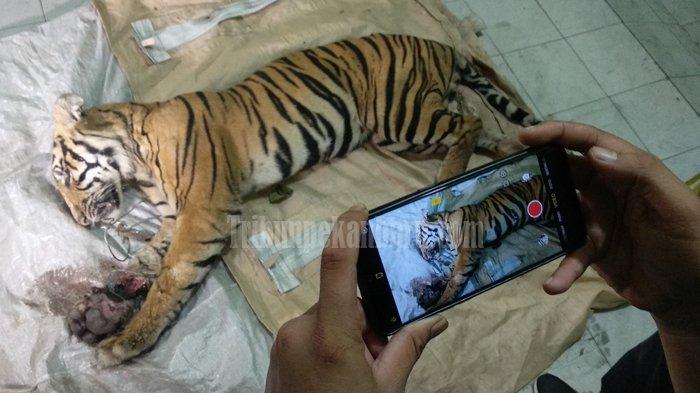 BKSDA dan Arara Abadi Investigasi Kematian Harimau Sumatera di Minas Barat