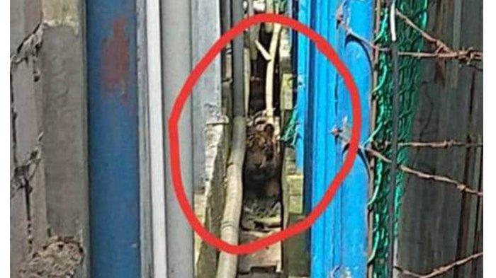 harimau-sumatera-terjebak-di-antara-ruko-di-inhil.jpg