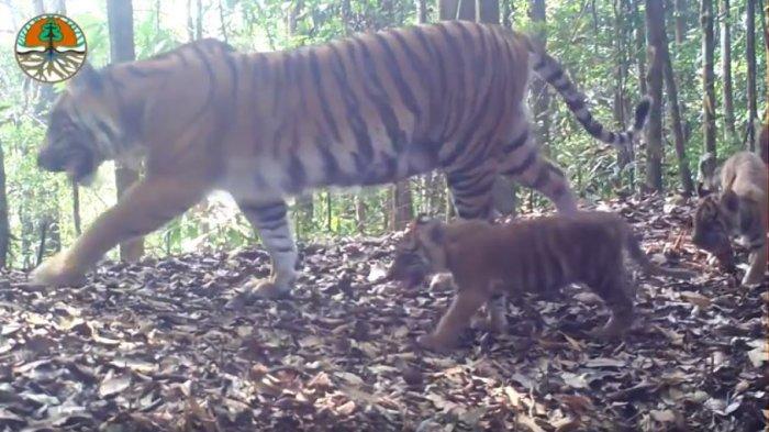 40 Ekor Harimau Sumatera Hidup di Hutan Senepis Riau, Warga Diminta Berhati-hati