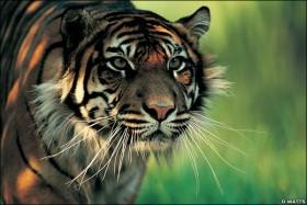 57 Orang Tewas Diterkam Harimau, 69 ekor Harimau Dibunuh