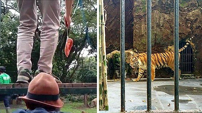 Detik-detik Kronologi 2 Harimau Lepas dari Kandang Sinka Zoo Singkawang, Pawang Tewas Diterkam