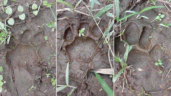 Warga Dumai Diduga Dimangsa Harimau, Kabid Wilayah II BKSDA Riau: Ada Ditemukan Jejak Harimau