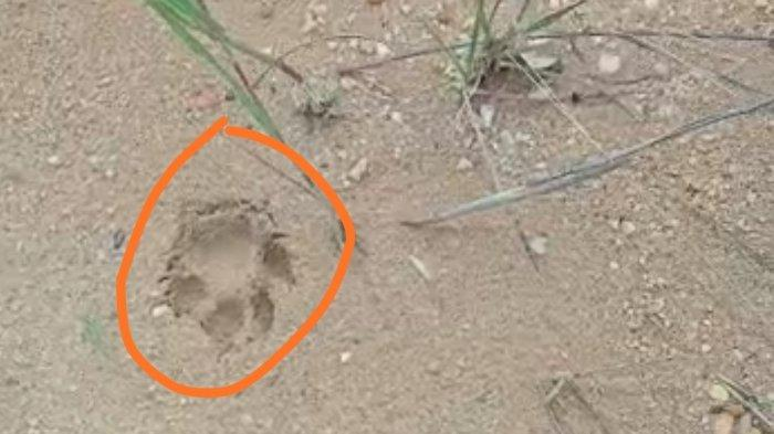Heboh Temuan Jejak di Inhu, Warga Menduga Tapak Kaki Harimau Sumatera, Tapi Konfirmasi BKSDA Berbeda