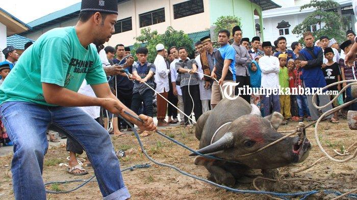 Pemeriksaan Daging Kurban Rampung, Total Hewan Kurban di Dumai Tahun ini 2.281 Ekor