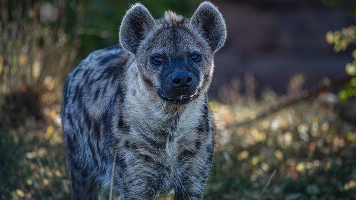 Kawanan Hyena Buas Serang Kakek Saat Tidur, Ditarik Hingga 300 Meter, Lalu?