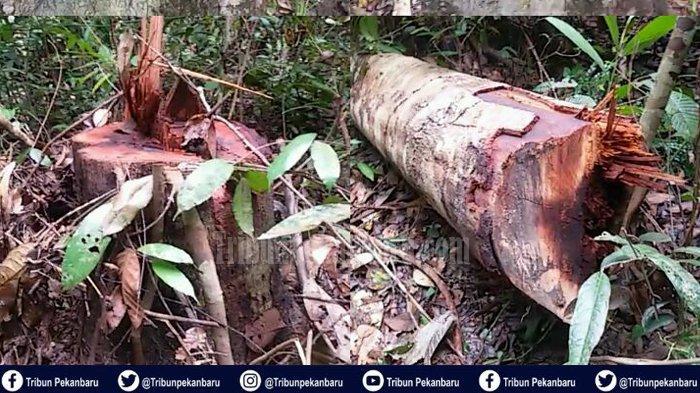 Ilegal Logging di Taman Nasional Tesso Nilo hingga Banjir di Desa Lubuk Kembang Bunga Pelalawan