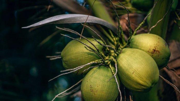 Ilustrasi Buah Kelapa. Bupati Kabupaten Indragiri Hilir (Inhil), HM Wardan pun meyakini air dari kelapa muda memiliki khasiat untuk meningkatkan imun tubuh.