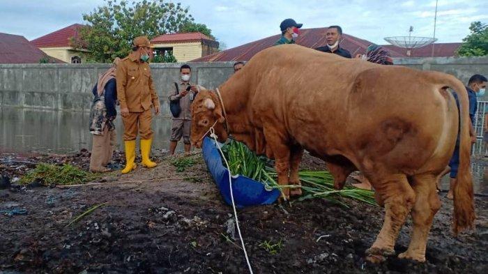 Sapi Sultan,Punya Kipas Angin di Kandang,Diperlakukan Istimewa,Terpilih Jadi Kurban Presiden di Riau