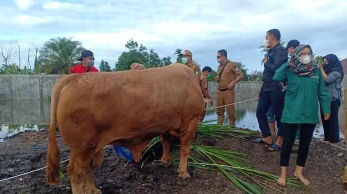 Sapi Limousin milik peternak di Bengkalis terpilih sebagai sapi kurban Presiden Jokowi untuk masyarakat Riau pada perayaan Idul Adha 2021.