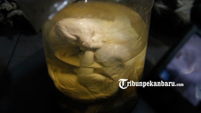Sindikat Perdagangan Kulit Harimau Sumatera di Riau Ditangkap, Tulang Harimau Dijual Rp 17 Juta