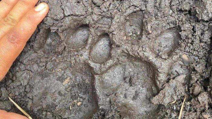Jejak harimau sumatra ditemukan Polres Siak, Senin (30/8/2021) di lokasi penemuan mayat remaja yang tewas diduga dimangsa harimau.