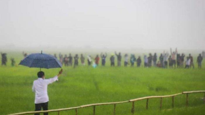 Viral Video Presiden Jokowi Jalan di Pematang Sawah Pakai Payung Saat Hujan Lebat