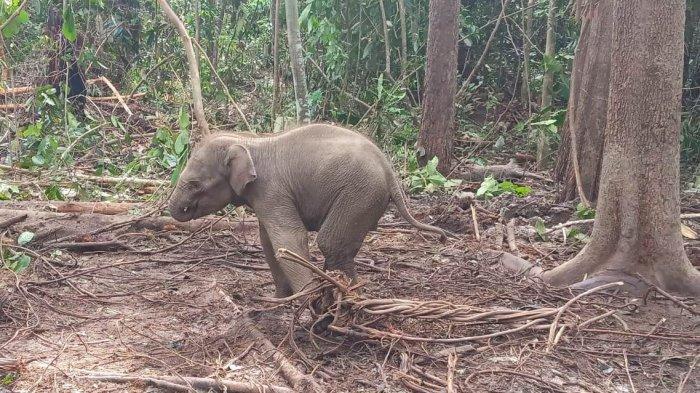 Kaki Anak Gajah Luka Kena Jerat di Konsesi HTI Perusahaan di Riau, Kondisi Lemas dan Dehidrasi Berat