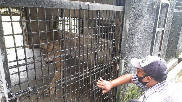 Singa Biasa Makan 10 Kg Daging Cuma Diberi 7 Kg, Porsi Makan Satwa di Kasang Kulim Zoo Berkurang