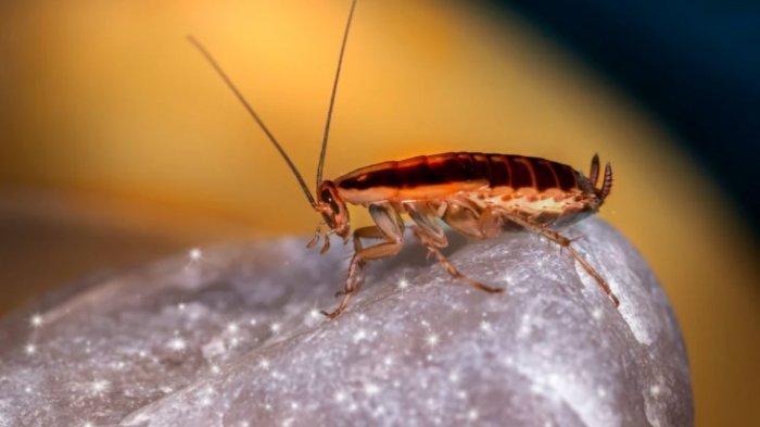 Ini Cara Gampang Mengusir Kecoa dari Rumah, Bahan Alami Ini Ampuh Mengusir Kecoa