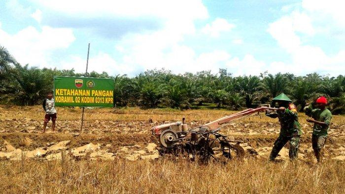 Anggota Babinsa Koramil 02 Rambah Kodim 0313/KPR Serka Sunardi bersama warga melaksanakan pembajakan lahan sawah dengan menggunakan Hand Tractor.