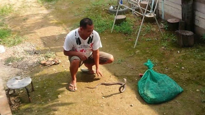 Khomar warga 04 Rw 02, Kelurahan Bojongbata, Kecamatan Pemalang, Kabupaten Pemalang, bercengkrama dengan ular cobra, di halaman belakang rumahnya, Sabtu (17/4/2021).