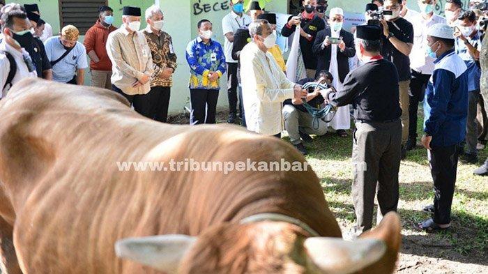 FOTO : Besarnya Sapi Kurban Presiden Jokowi di Riau - kurban-presiden-di-riau.jpg