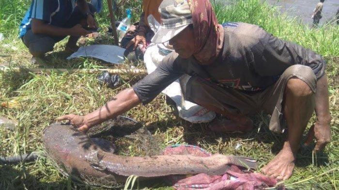 PenampakanLele Raksasa Berukuran Sekitar 1 Meter Berat 10 Kilo, Berhasil Ditangkap WargaBondowoso