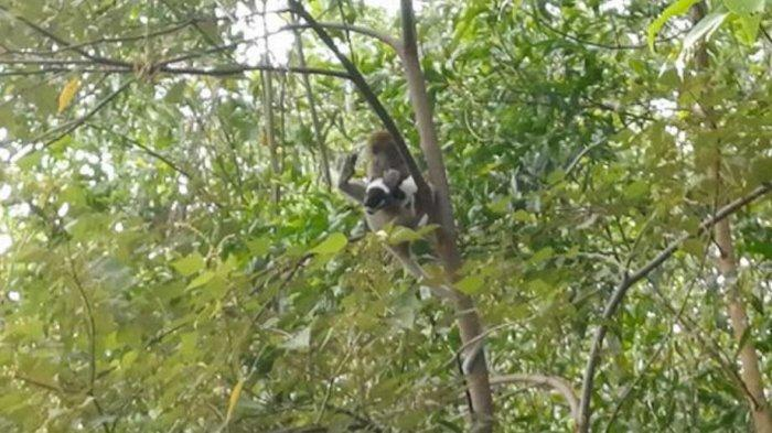 Monyet Culik Anak Anjing, Dibawa Bergelayutan Selama Tiga Hari Di Pepohonan Dan Kabel Listrik