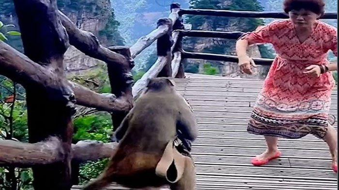 Video Viral Monyet Curi Tas Wanita, Gegara Korban Keasyikan Bergaya di Depan Kamera