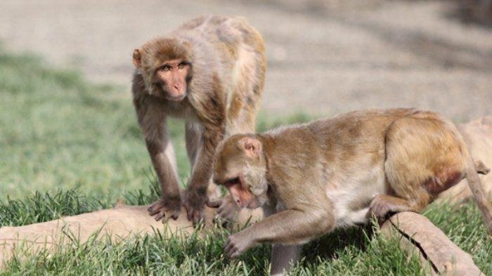 Pria Di China Tewas Setelah Terinfeksi Virus Monyet, Sebelumnya Demam Sebulan Tak Kunjung Sembuh