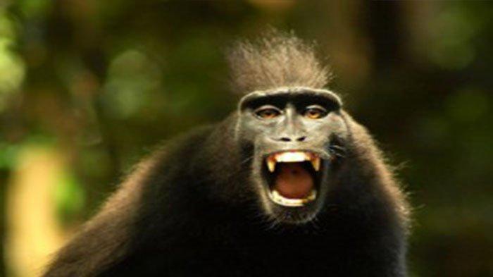 Ilmuwan Cipatakan Spesies Manusia Monyet Demi Transplantasi Organ, Berhasil Ciptakan 100 Embrio