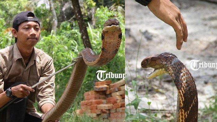 Muammar Syahida atau akrab disapa Amar Sang Penakluk ular King Kobra