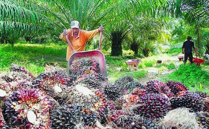 Harga TBS Riau Periode 9-16 Juli 2019 Kembali Turun, Berikut Rincian Perkelompok Umur
