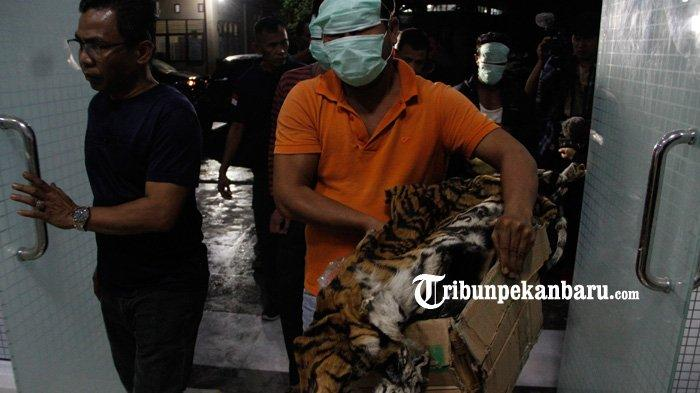 Sindikat Perdagangan Kulit Harimau Sumatera di Riau, Pelaku Pasang Kabel Dialiri Listrik